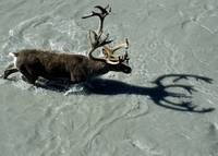 Bull caribou as it crosses a river in Denali Natio