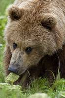Close up of Brown bear eating grasses in Hallo Bay