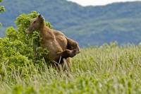 Brown bear scratches their back on a tree in Kukak