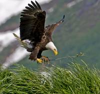 Bald Eagle gathering materials for a nest Kukak Ba