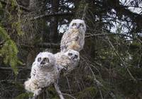 Three Great Horned Owl Chicks In A Tree Edmonton,