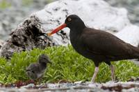 Close up view of Oyster Catcher with her chick in