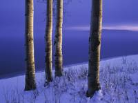 Aspen Trees And Winter Lake Shoreline, British Col
