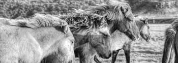 Black And White Image Of Icelandic Horses In The W