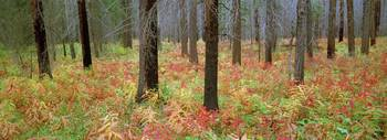 Fireweed In Fall Colour In Burned Forest, Banff Na