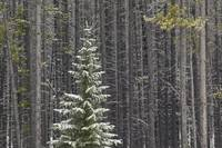 Lone Spruce Tree Against Backdrop Of Lodgepole Pin