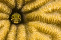 Caribbean, Bonaire, Blenny Fish Looking Out From R