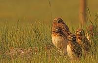 Burrowing Owl Chicks And Adult, Saskatchewan, Cana