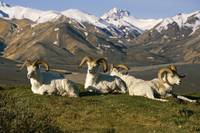 Group of Dall Sheep Rams on Ridge Polychrome Pass