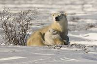 Polar Bear With Cub, Watchee, Churchill, Canada
