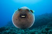 Hawaii, Spotted Pufferfish Floating In Blue Ocean