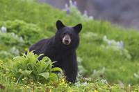 Black Bear, Harding Icefield Trail, Kenai Fjords N