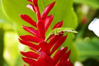 Hawaii, Green Anole Lizard On Red Ginger Plant