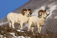 Two full curl ram Dall Sheep at Windy Point area S
