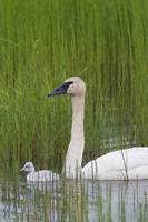 Trumpeter swan with newly hatched cygnet, Copper R