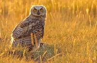 Immature Great Horned Owl Backlit In A Grass Field