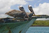 Two Pelicans On A Derelict Boat In The Harbor, Gal