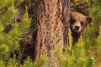 Grizzly Bear Cub Up A Tree, Yukon, Canada