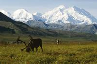 Two caribou feeding on tundra with Mt. McKinley an
