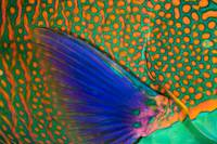 Indonesia, Komodo, Close-Up Of Parrotfish Scales A