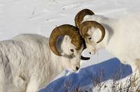 Two ram Dall Sheep but heads, Chugach Mountains, S