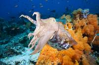 Indonesia, Komodo, Cuttlefish