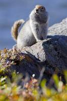 Close up of an adult Arctic Ground Squirrel sittin