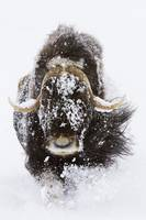 Musk Ox in snow, Alaska Wildlife Conservation Cent