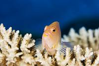 Micronesia, Yap, Close-Up Of An Arc-Eye Hawkfish