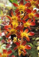 Close-Up Of Red And Yellow Dendrobium Orchids On P