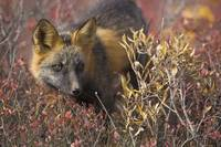 Close up portrait of a cross fox peering through b