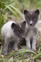 Close up of Arctic Fox pups Saint Paul Island Prib