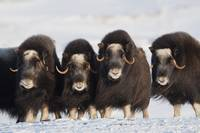 Musk ox cows in a defensive lineup during Winter o
