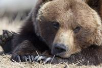 Close up portait of a sleepy adult Brown bear at t