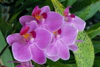 Bunch Of Lavender Colored Orchids On Plant, Outdoo