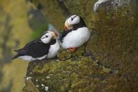 Horned Puffin pair perched on lichen covered cliff