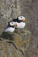 Horned Puffin pair perched on a cliff ledge during