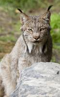 Close up of a Lynx at the Alaska Wildlife Conserva