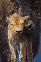 Close up of a newborn Wood Bison calf and mother,