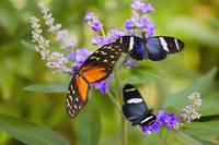 Three Colorful Butterflies On Blossoms In Spring