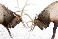 A pair of large Rocky Mountain elk lock antlers an