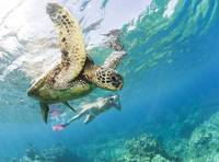 Hawaii, Maui, Green Sea Turtle Honu And Free Diver