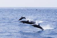 Guatemala, Puerto Quetzal, Spinner Dolphins Jumpin