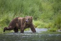 Brown Bear wades through a stream near Prince Will