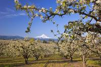 Apple Blossom Trees In Hood River Valley With Moun