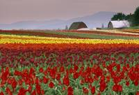 Tulip Fields In Skagit Valley, Washington State, U