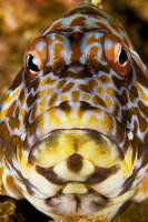 Hawaii, Stocky Hawkfish