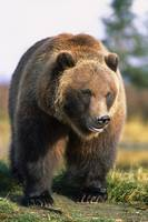 Brown Bear Standing In The Grass In Southcentral A