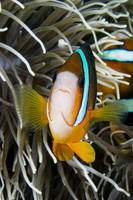 Indonesia, Clark's Anemonefish