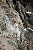 A Full-Curled Dall Sheep Ram Perches On A Ledge, C